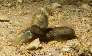mating squid by Dave Baxter